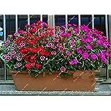 ミックス:ママギフト簡単には200個の成長に植えるレアカーネーションの種Caryophyllusフラワーホームガーデンリビングルームフォーシーズンズ