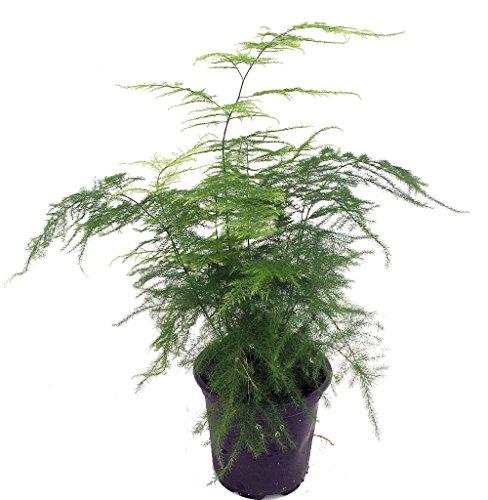 "Fern Leaf Plumosus Asparagus Fern - 4"" Pot - Easy to Grow - Great Houseplant"