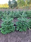 Nordmann-Tanne - Abies nordmanniana - Im Topf gewachsen - In unterschiedlichen Liefergrößen - Der nachhaltige Weihnachtsbaum (Im 10 Liter Container 100-120 cm)