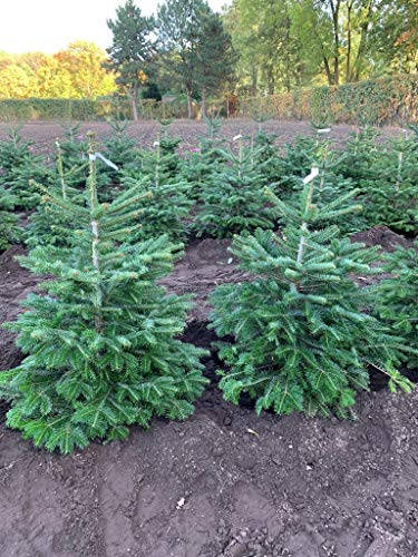 Nordmann-Tanne - Abies nordmanniana - Im Topf gewachsen - In unterschiedlichen Liefergrößen - Der nachhaltige Weihnachtsbaum (Im 10 Liter Container 60-80 cm)
