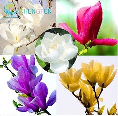 Go Garden 3: 30 Stück Magnolia Bonsai für Garten Bonsai DIY Orchid Tree Pflanze