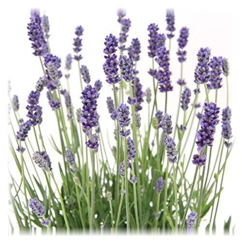 12 Pflanzen Lavandula angustifolia Staude Lavendel