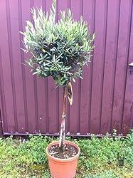 olivenbaum kaufen worauf muss man achten. Black Bedroom Furniture Sets. Home Design Ideas