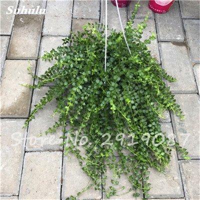 Pearl Chlorophytum Seeds 100 Pcs Hanging type de pot Chlorophytum fleurs Plantes d'intérieur air frais jardin résistant au froid 20