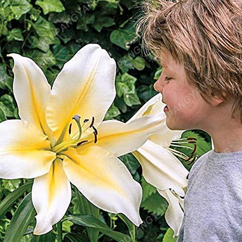 Shopmeeko Graines: 100 Pcs géant Lily bonsaïs Livraison gratuite Parfum Pas Cher bonsaïs Lily mélange de différentes variétés de fleurs bonsaï Bonsai Pour la maison Ga: Noir