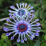 TOYHEART 100 Piezas De Semillas De Flores De Primera Calidad, Semillas De Flores Azules, Semillas Raras De Alto Rendimiento, Plantas, Semillas De Bonsái En Macetas para Jardín Semillas de Margarita