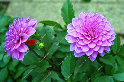 Double Dahlia Seed Mini Mary Fleurs Graines Bonsai Plante en pot bricolage jardin odorant Fleur, croissance naturelle de haute qualité 50 Pcs 14
