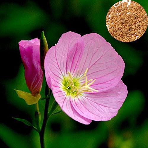 Graines 100Pcs Showy Rose onagre Oenothera odorata Fleur