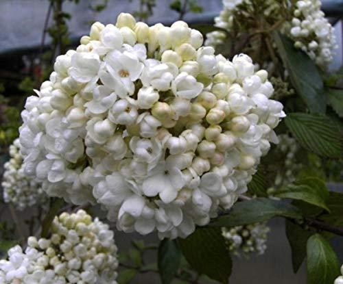 Schneeball Eskimo - Viburnum Eskimo - blütenreich - stark duftend (30-40)
