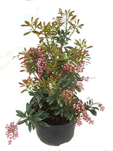 Pieris japonica ''Polar Passion'' - Schattenglöckchen, Lavendelheide kleinbleibender immergrüner, winterharter Strauch -17 cm Topf