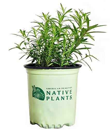 American Beauties Native Plants - Asclepias tuberosa (Butterfly Milkweed)...