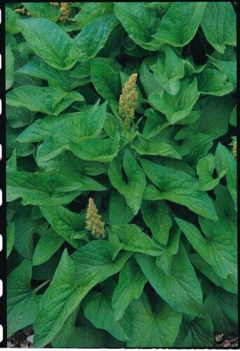 Herb - Suffolk Herbs - Good King Henry - Chenopodium - Pictorial Packet