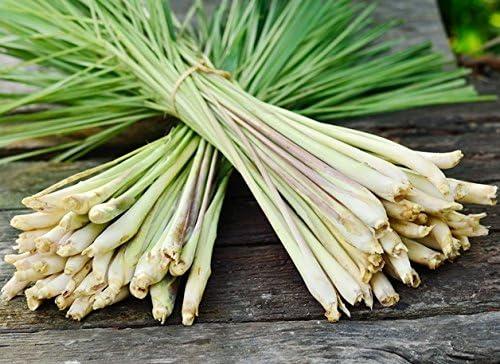Lemon In stock Grass Seeds - Cymbopogon online shopping citratus