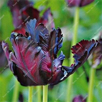 11: 1 Stücke Echte Tulpe Tulpen, Nicht Tulpe Samen, Papagei Regenbogen Tulpe Blumen Bulbos Bonsai Rizoma Pflanzen Knollenwurzel Garten Jardinagem