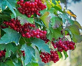 Berry Elderberry - 80 Red Elderberry SẸẸDS Sambucus Racemosa | Trẹẹ Shrub Frụit Berry for Grówing