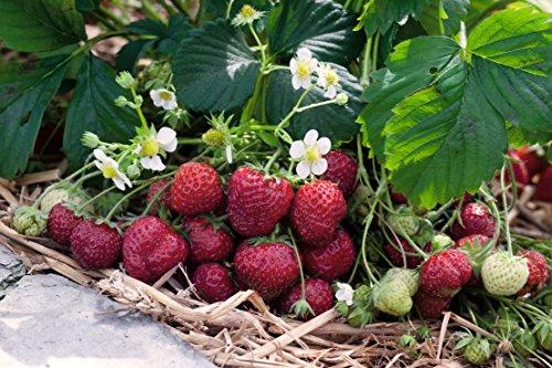 Erdbeere Senga Sengana®' - Fragaria x ananassa - mittelfrüh, ertragreich, kaminrot, mittelgroß, süße Früchte