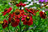 Sonnenbraut Helena Rote Tone 50 Samen, (Helenium autumnale)