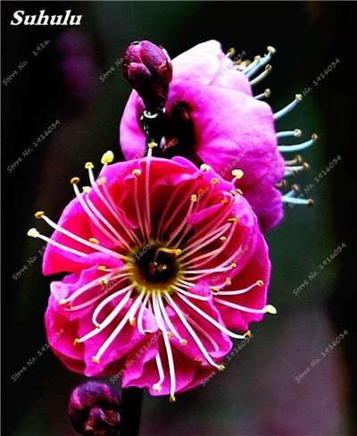 5 pièces rares Couleur vivaces Wintersweet graines, fleurs de pruniers, Rouge Blanc Jaune Rose Calyx Canthus Fleur Graine-Terre Miracle 6