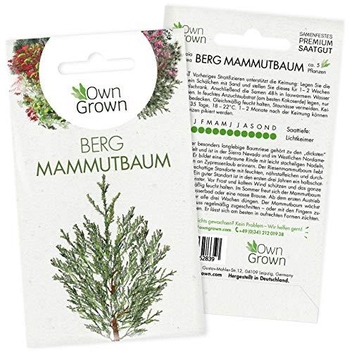 Bonsai Baum Samen Berg Mammutbaum: Premium Mammutbaum Samen für 5 Bonsai Pflanzen – Bonsai Samen für den Mini Garten – Riesenmammutbaum Pflanzen Saatgut – Winterharte Bonsai und Pflanzen von OwnGrown