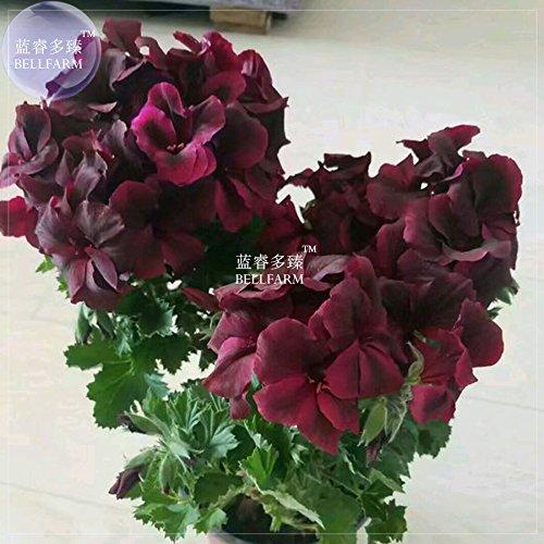 Bellfarm Geranium Bonsai Redish Noir Pétales Une seule fleur Plante * Graines (pas de sol), 10pcs/paquet, grandes fleurs jardin maison