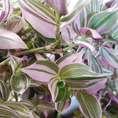 Rare House Plant Tradescantia Fluminensis Lilac Wandering Jew Lilac #KG3TM (2.5 x 3.5 Inch)