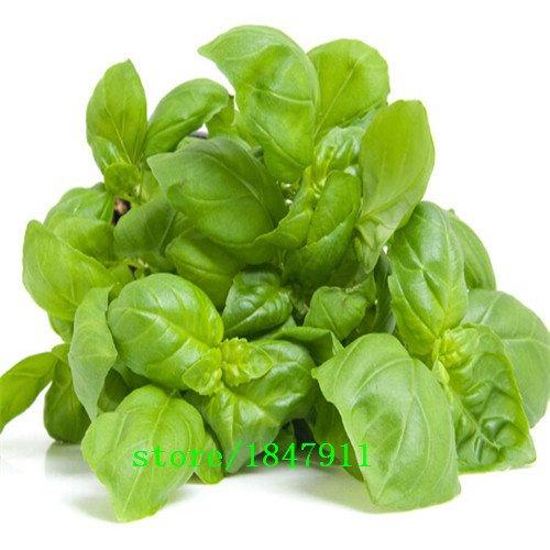 Big vente original Paquet 100 Graines / Pack, Ocimum basilicum, basilic pourpre, Balcon légumes bonsaï, graines de plantes de jardin