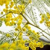 100 Piezas Semillas De Mimosa Árboles Altos Perennes Fácil De Plantar Cultivar Hojas Sensibles Tímidas Fácil De Hacer Flores Secas Para Decoración De Jarrones De Interior