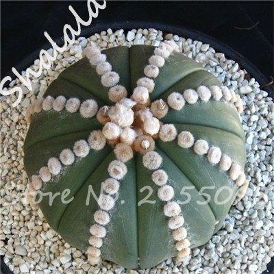 Nouvelle arrivee! 20 Graines frais Succulent Cactus boule Graines, variété de couleurs, Intérieur aérobie Potted haute Germination Graines de fleurs 6