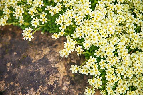 Gelber Lein 30 Samen- (Linum flavum Compactum)- bodendecker,