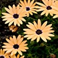 Outsidepride African Daisy - Salmon