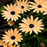 Outsidepride African Daisy Salmon - 1000 Seeds
