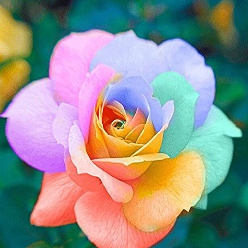 150PCS Rose Flower Seed Hollande Rose Graines amant cadeau arc-RARE 25 exotiques couleurs au choix de bricolage pour les plantes de jardin à domicile 2