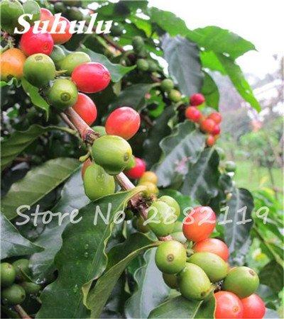 Coffea arabica Graines 10 Pcs grain de café Graines Tropical Bonsaï, vivace fruit caféier graines vertes alimentaires pour jardin 11