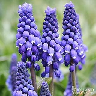 Blue Grape Hyacinth or Muscari Jumbo Pac