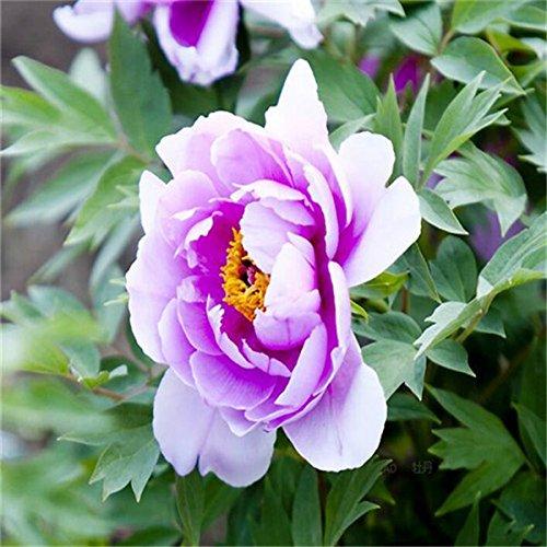 5 pièces/sac graines de pivoine, jaune, graines de fleurs de pivoine rose chinoise belles graines de bonsaï plantes en pot pour le jardin de la maison 5