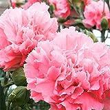 発芽種子:カーネーションの花の種 - ピンク - バルク