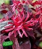 """BALDUR-Garten Loropetalum""""Ever Red®"""""""