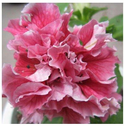 Jardin Petunia Shuttlecock Fleur Corne Bonsai graines pétunia fleur 50 graines / paquet 22 sortes de couleurs graines de pétunia jardin