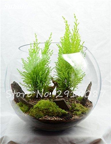 100 Pcs rares mousse verte Graines exotiques Graines Bonsai Moss Belle Moss Boule décorative Jardin créatif herbe Graines Plante en pot 22