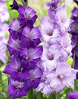 (20) Fresh, New 2018, Large Flowering Cool Blue Mixed Colors Gladiolus Bulbs, Plants, Flowers, Flowering Perennials,Sword Lily, Gladioli-SeedsBulbsPlants&More