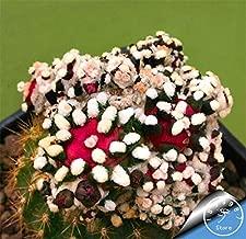 Clearance Sale - Hot 100pcs/bag Best Rare Cactus Flower Bonsai, Giant Shape, Heat Tolerant Succulent Perennial Plant De Flores,#4nsqlr(Seed) - by Abuldahi