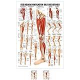 Sport-Tec Die Beinmuskulatur Mini-Poster Anatomie 34x24 cm medizinische Lehrmittel