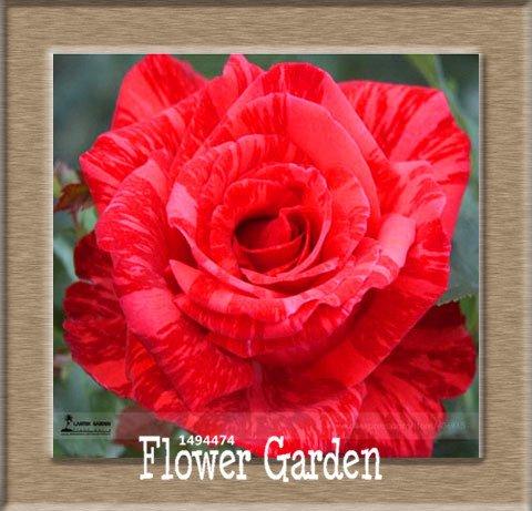 Big Pots de fleurs jardinières, 20 types, 50 PCS / Lot, rose graines arc-en-Belle rose graines bonsaïs graines, # 5 B4LT8H