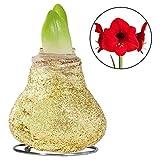 """Kölle Amaryllis goldfarben gewachst mit roter Blüte - Amaryllis Zwiebel in Wachs - """"Touch of Wax"""" Amaryllis Hippeastrum"""
