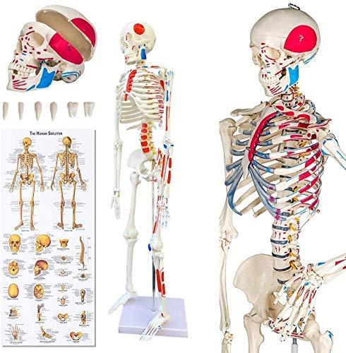 AMITD Skelett Anatomisches Modell des menschlichen Skeleton Skeleton Skeleton Anatomisches Modell Menschliches Grandeur Nature Für Teaching Medical, Kliniken Johanniter