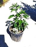 1 Live Pepper piquin Chili Capsicum annuum Pequin...