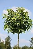 Amberbaum, Liquidambar styraciflua Gumball, Höhe: 250...