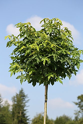 Amberbaum, Liquidambar styraciflua Gumball, Höhe: 250 cm (Stammhöhe: 180 cm) + Dünger