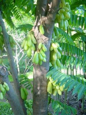 Leckerer Gurkenbaum (Averrrhoa bilimbi) 3 frische Samen -Eine Art Sternfrucht-