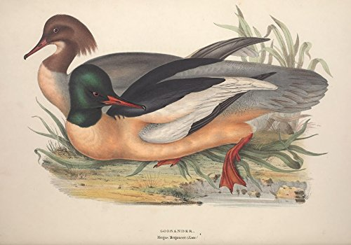 Posterazzi Birds of Europe 1837 Goosander Poster Print by J & E Gould, (18 x 24), Varies